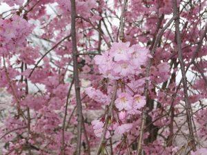 大阪城公園西の丸庭園の桜