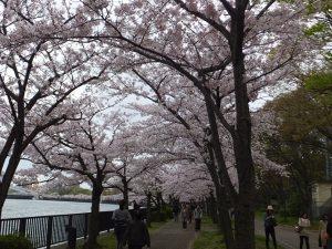 毛馬桜ノ宮公園の桜並木