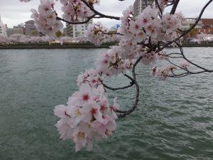大川沿いの桜の様子