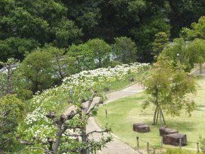 池田城跡公園の白ゆりが見ごろです。