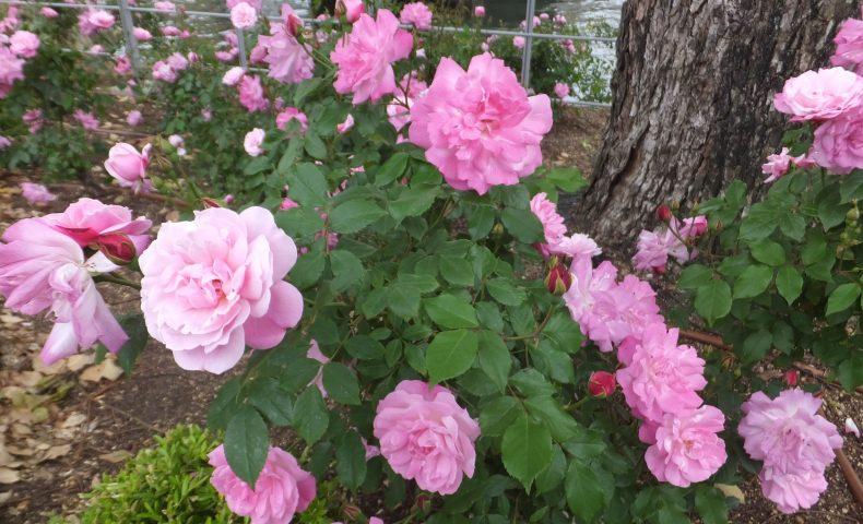 中之島公園のバラ開花状況