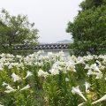 """池田城跡公園の白ゆり開花状況は""""見ごろ""""(6月20日)駐車場や公園内の様子について"""