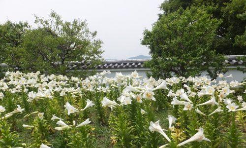 池田城跡公園のゆり開花状況